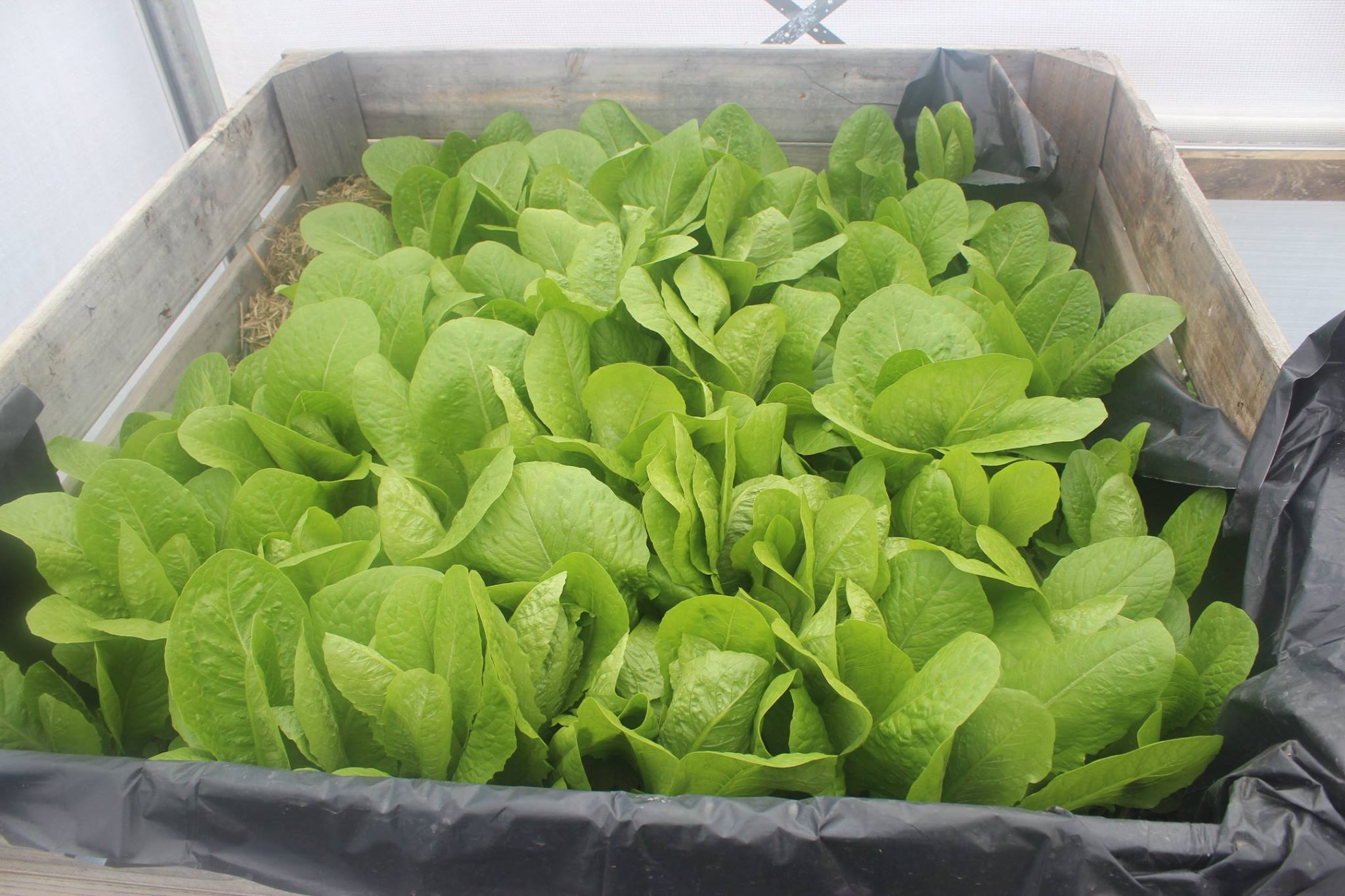 lettuce hothouse oct 2017