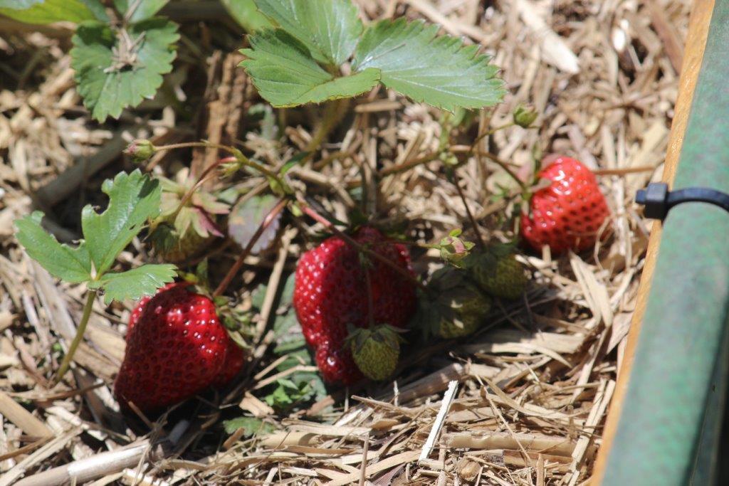 vegGrdn strawberries march 2016